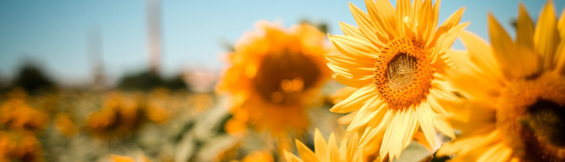 slnecnice1